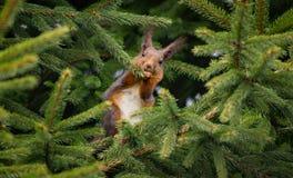Squirrel comer Foto de Stock