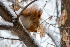 Squirrel comer no ramo de árvore coberto com a neve Imagens de Stock Royalty Free