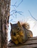 Squirrel comer sobre o aviário que descansa em seus cotovelos Imagens de Stock