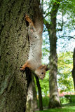 Squirrel coming down from the tree Stock Images