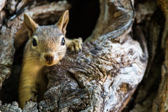 Squirrel. A squirrel coming out from a wooden hollow stock photography