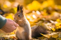 Squirrel communicates with human in the autumn park stock photos
