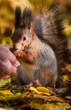 Squirrel communicates with human in the autumn park stock photo