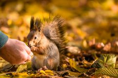 Squirrel communicates with human in the autumn park royalty free stock photos