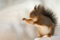 Squirrel conductor Royalty Free Stock Image