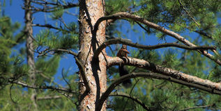 Squirrel with cone on pine tree. In mountains Stock Image