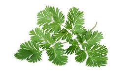 Squirrel Corn Dicentra canadensis Leaf. Isolated on white Royalty Free Stock Images