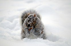 Squirrel covered with snow eathing gathering food. Squirrel covered with snow in winter gathering finding and eating some food (fruit core Royalty Free Stock Photos