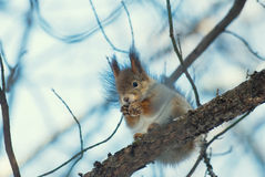 The squirrel and a cracker. The squirrel and eating cracker Royalty Free Stock Photos