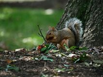 Squirrel at lunch under a tree royalty free stock photo