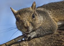 Squirrel Out on a Limb. A squirrel crawls out on a tree branch at the Circle B Bar Reserve in Lakeland, Polk County, Florida, in February, 2018 Stock Image