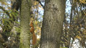 Squirrel creeps, climbs up on tree trunk, keeps, holds nut or acorn in mouth. Squirrel is runing fast on tree. Slow. Motion stock video footage