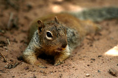Squirrel crop Royalty Free Stock Photography