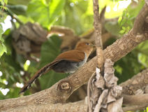 Squirrel cuckoo perched on branch Stock Images