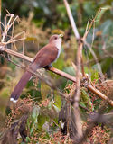 A Squirrel Cuckoo singing on a branch Stock Photography