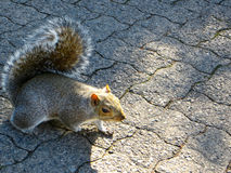 Squirrel. A closeup of a bushy tailed grey squirrel royalty free stock photography