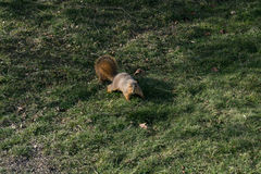 Cute and Curious Squirrel Royalty Free Stock Image