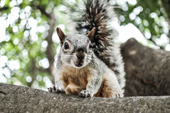 Squirrel. Curious squirrel on a tree Stock Photo