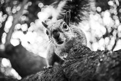 Squirrel. Curious squirrel on a tree Stock Photos