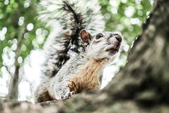 Squirrel. Curious squirrel on a tree Royalty Free Stock Image