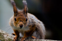 A squirrel. A curious squirrel  in the zoo Royalty Free Stock Photo
