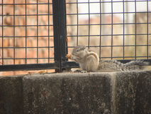 Squirrel. Cute and cuddly little squirrel eating nuts Royalty Free Stock Photos
