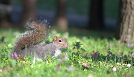 Squirrel. A cute gray squirrel in the park of Legnano Stock Photo