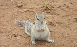 Squirrel. This cute Squirrel have some food in his hands Royalty Free Stock Photo