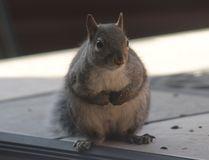 Squirrel. Cute little, chubby guy asking for some peanuts. He is hungry Stock Photos