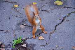 The Squirrel Royalty Free Stock Photography