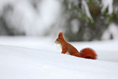 Squirrel, cute red animal in winter scene with snow blurred forest in the background, France Stock Image