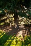 Squirrel Dance. Labradoodle dancing round a tree chasing a squirrel Stock Image