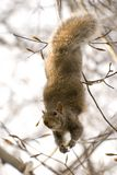 Squirrel dangling from a branch. Cute squirrel dangling upside down and peeking stock image