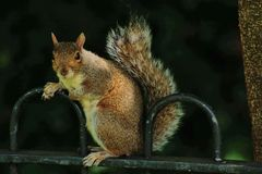 Squirrel in the dark Stock Photography