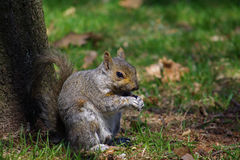 Squirrel das Essen Stockfoto