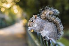 Squirrel das Essen lizenzfreies stockfoto