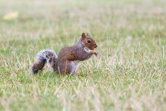 Squirrel das Essen stockfotografie