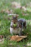 Squirrel das Essen Stockbild