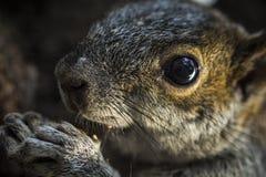 Squirrel das Essen Stockfoto