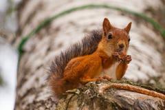 Squirrel das Essen Lizenzfreie Stockfotografie