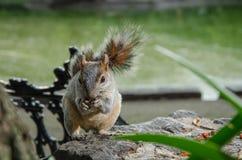 Squirrel das Essen der Erdnüsse in einem parc in Mexiko City Stockfoto