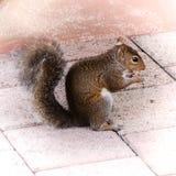 Squirrel das Essen der Walnuss lizenzfreie stockfotos