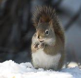 Squirrel das Essen eines Startwertes für Zufallsgenerator Lizenzfreies Stockfoto