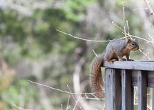 Squirrel on a Deck Rail Stock Image