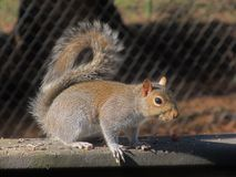 Squirrel on deck railing Stock Images