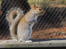 Squirrel on deck railing Stock Photography
