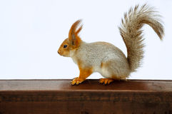 Squirrel on desk Stock Image