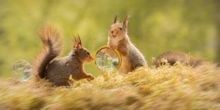 Squirrel detectives Royalty Free Stock Image
