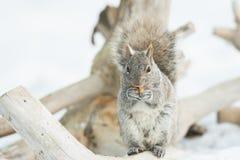 Squirrel die Speicherung Stockfoto