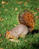 Squirrel digging Stock Photography